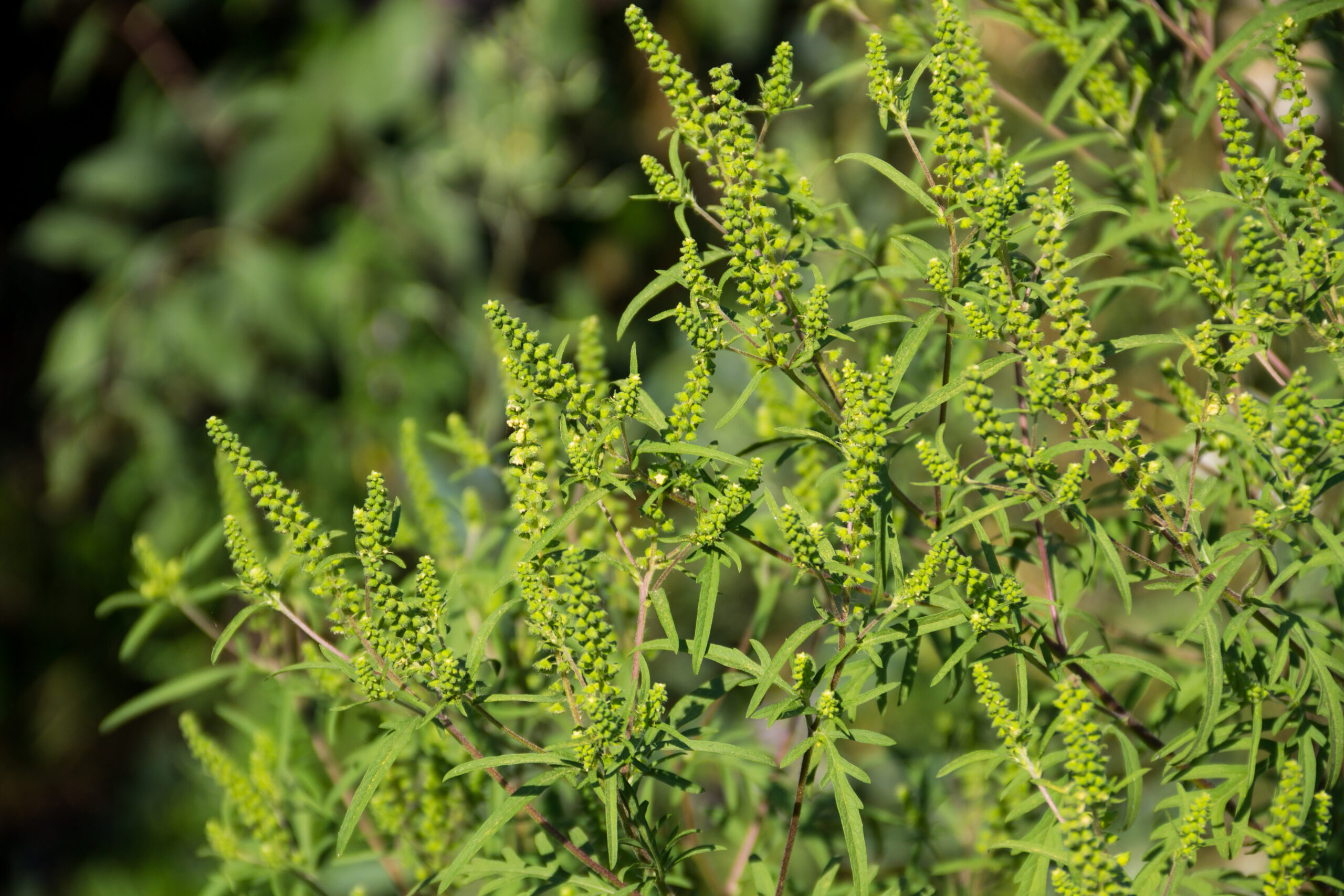 Ragweed plants